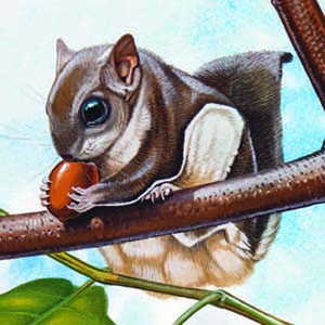 Southern Flying Squirrel / Glaucomys volans