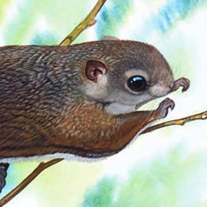 Particolored Flying Squirrel / Hylopetes alboniger