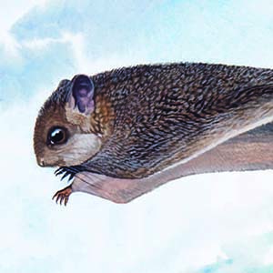Palawan Flying Squirrel / Hylopetes nigripes
