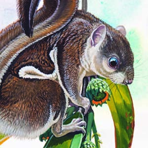 Indochinese Flying Squirrel / Hylopetes phayrei