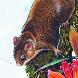 Red-cheeked Flying Squirrel / Hylopetes spadiceus