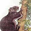 North Chinese Flying Squirrel / Aeretes melanopterus