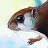 Arrow-tailed Flying Squirrel / Hylopetes sagitta