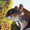 Hose's Pygmy Flying Squirrel / Petaurillus hosei