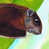 Whiskered Flying Squirrel / Petinomys genibarbis