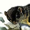 Smoky Flying Squirrel / Pteromyscus pulverulentus