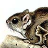 Beecroft's Scaly-tailed Flying Squirrel / Anomalurops beecrofti