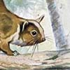 Lord Derby's Scaly-tailed Flying Squirrel / Anomalurus derbianus